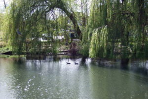 The Duck Pond and Willows